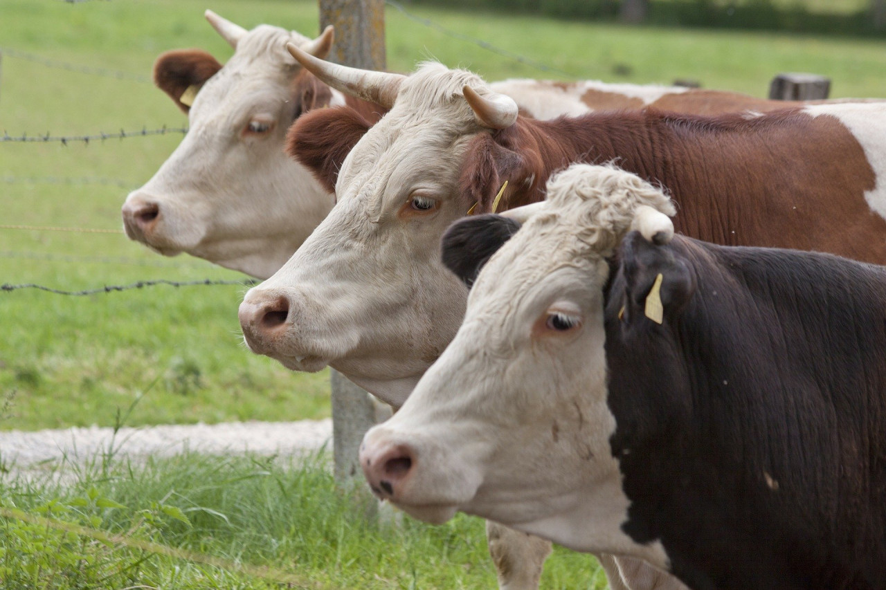 female-cattle-65496_1920