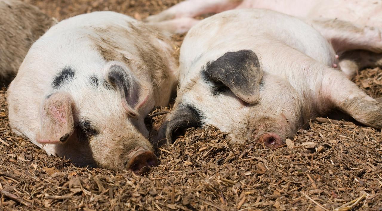 Zwei-Schweine-schlafen-draussen