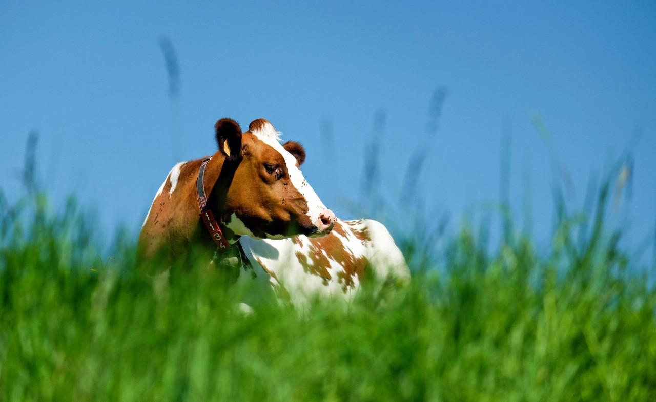 cow-1374685_1920