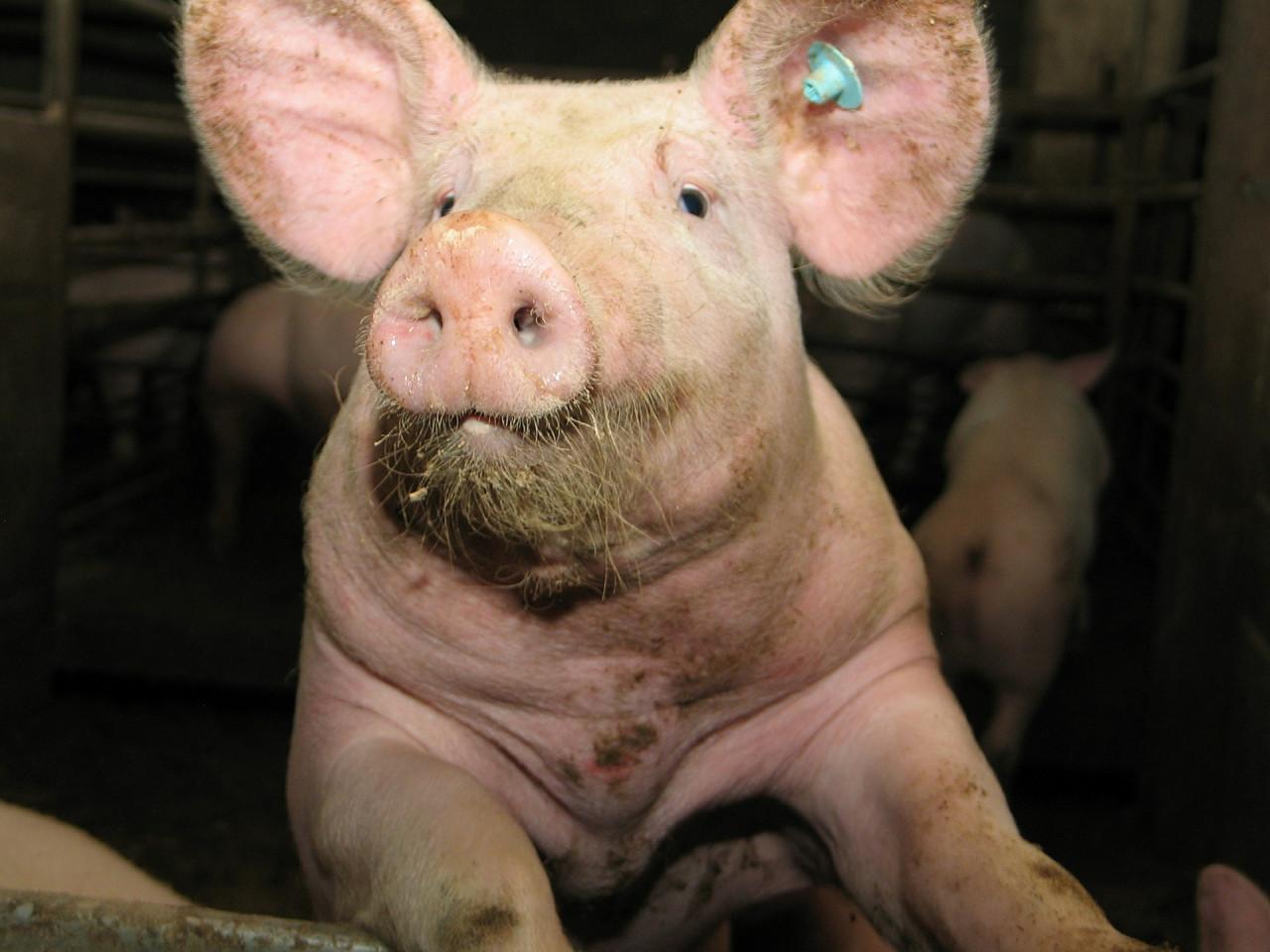Schwein-steht-auf-Hinterbeinen