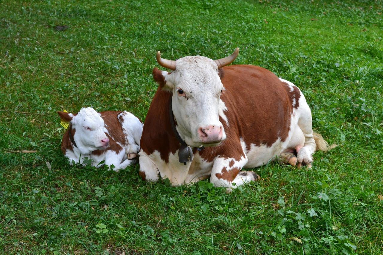cow-1672056_1920RKpFO7Kp4XRBB
