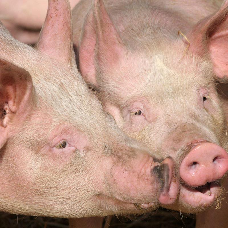SchweinTitelbild-Wundversrogung-11-20-800x800