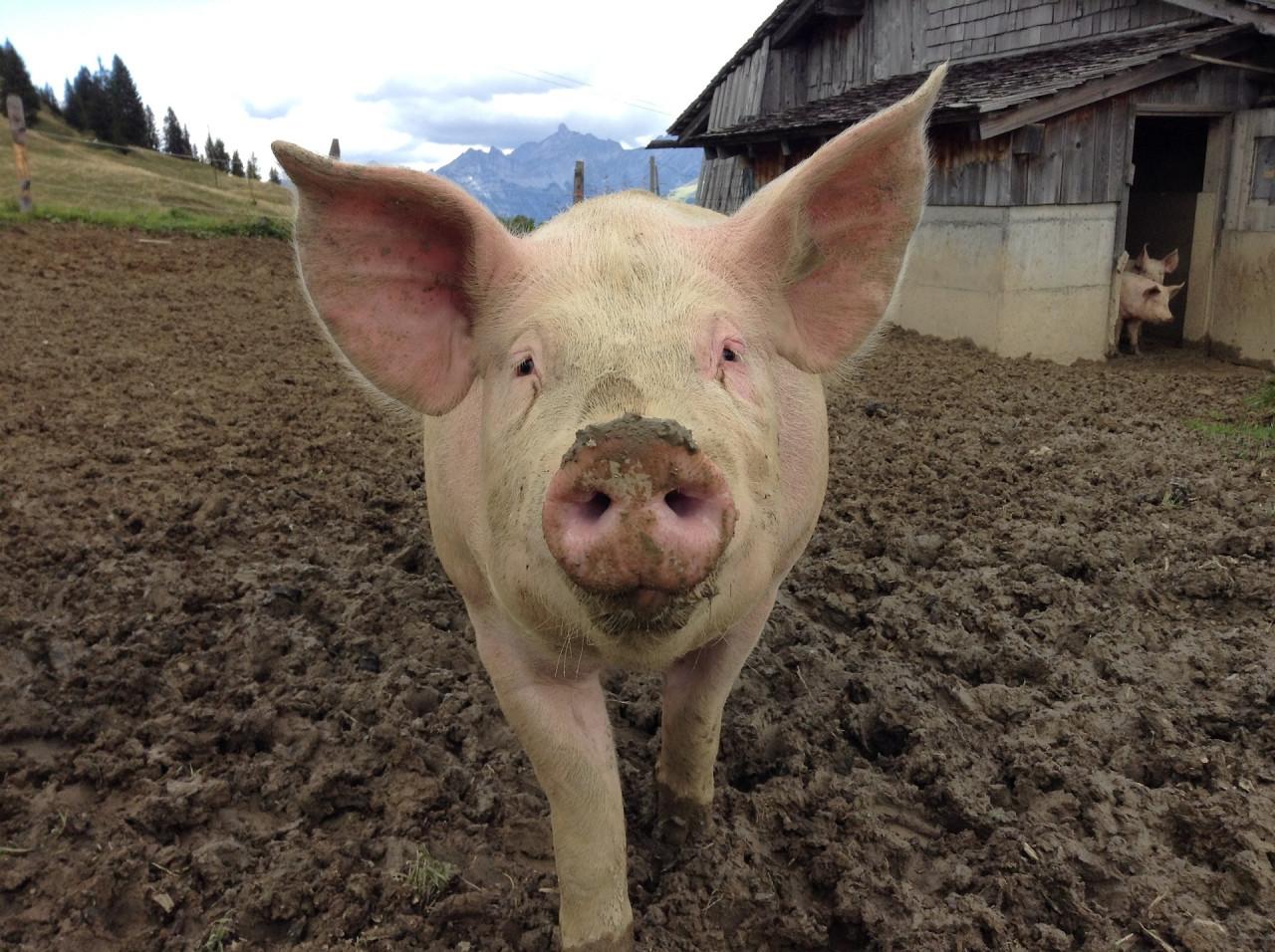 pig-1713996_1920