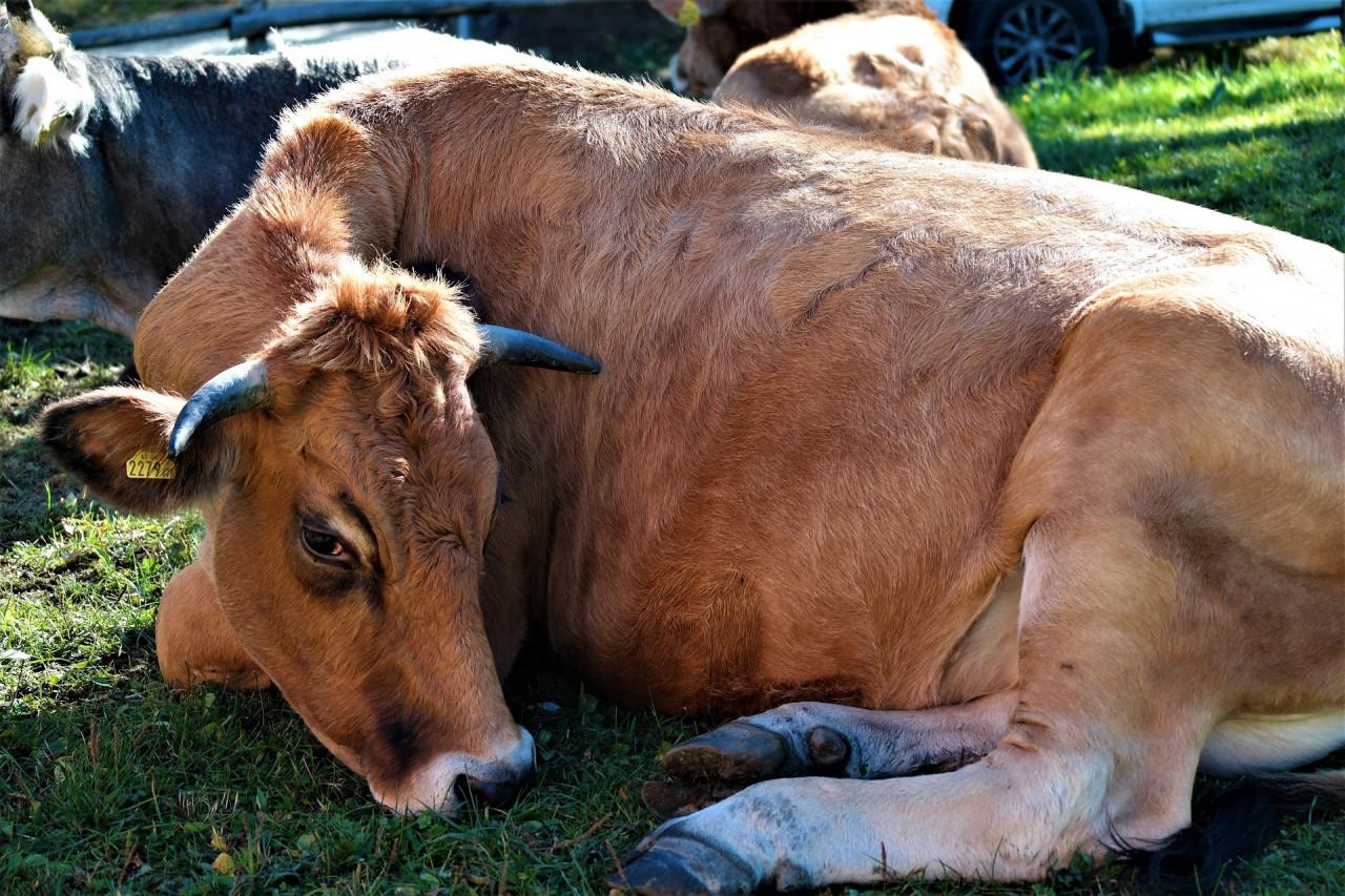 cow-2854895_1920