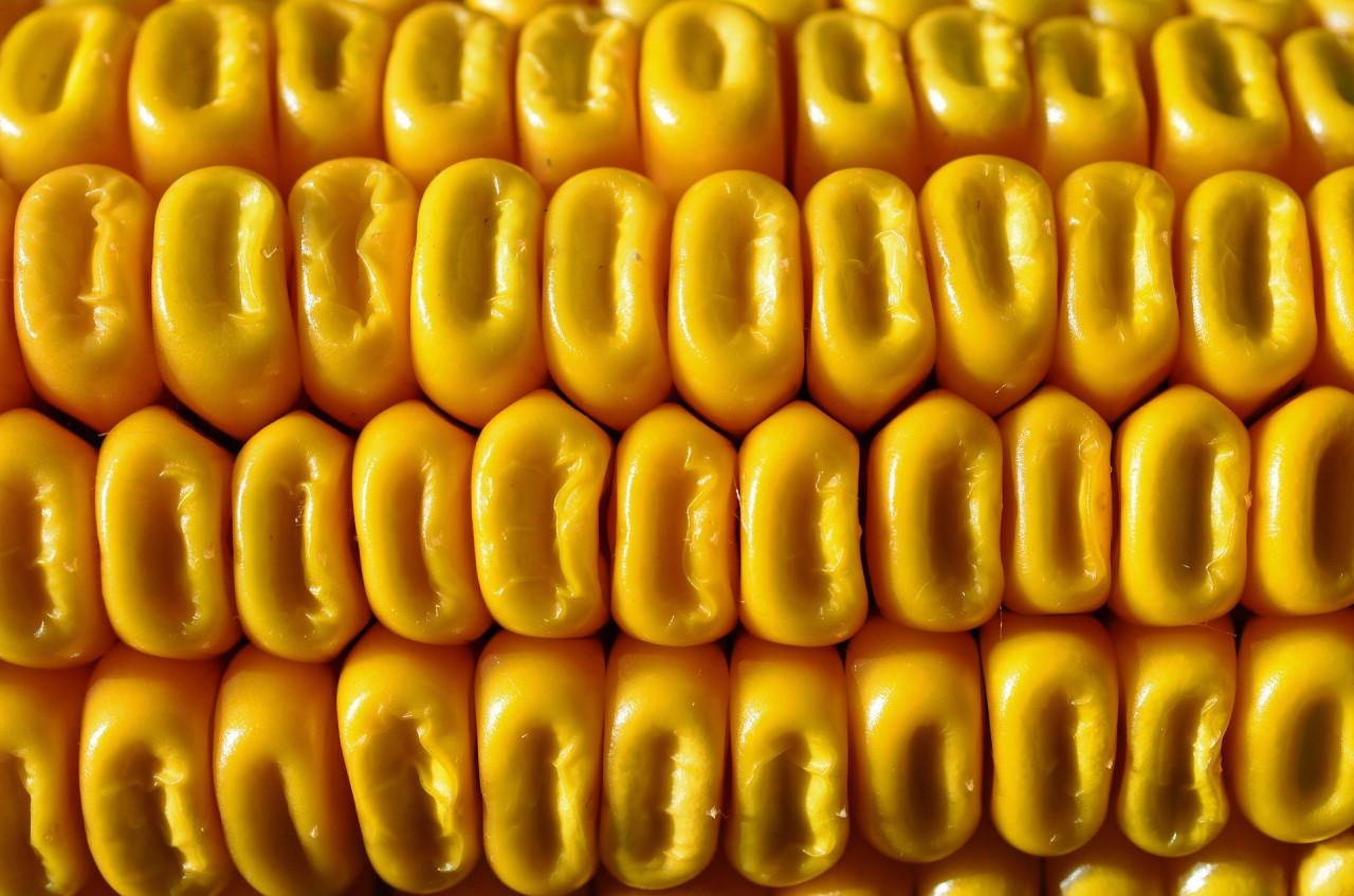 corn-57774_1920
