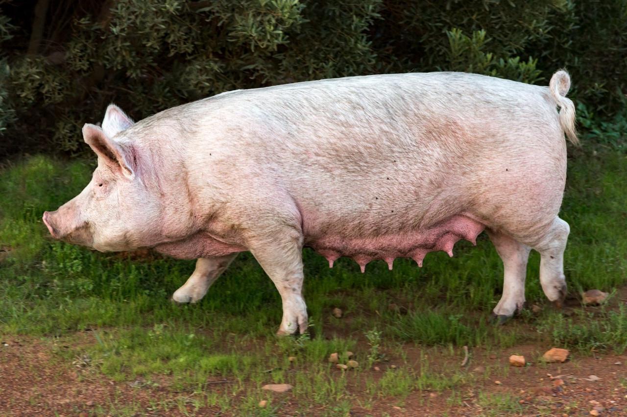 Titelbild-Gesaugeentzundung-Schwein