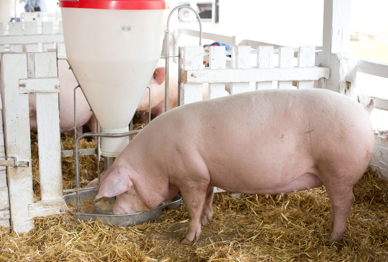 Schwein-Tranke-1186x800