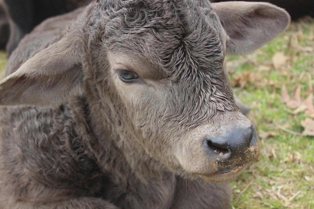 bull-1267952_1920