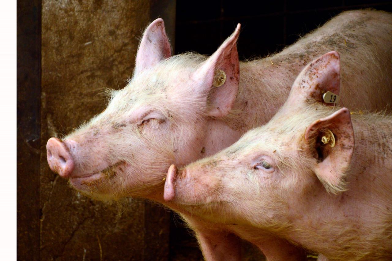 20200110_Ratgeber-Atemwege-Schwein