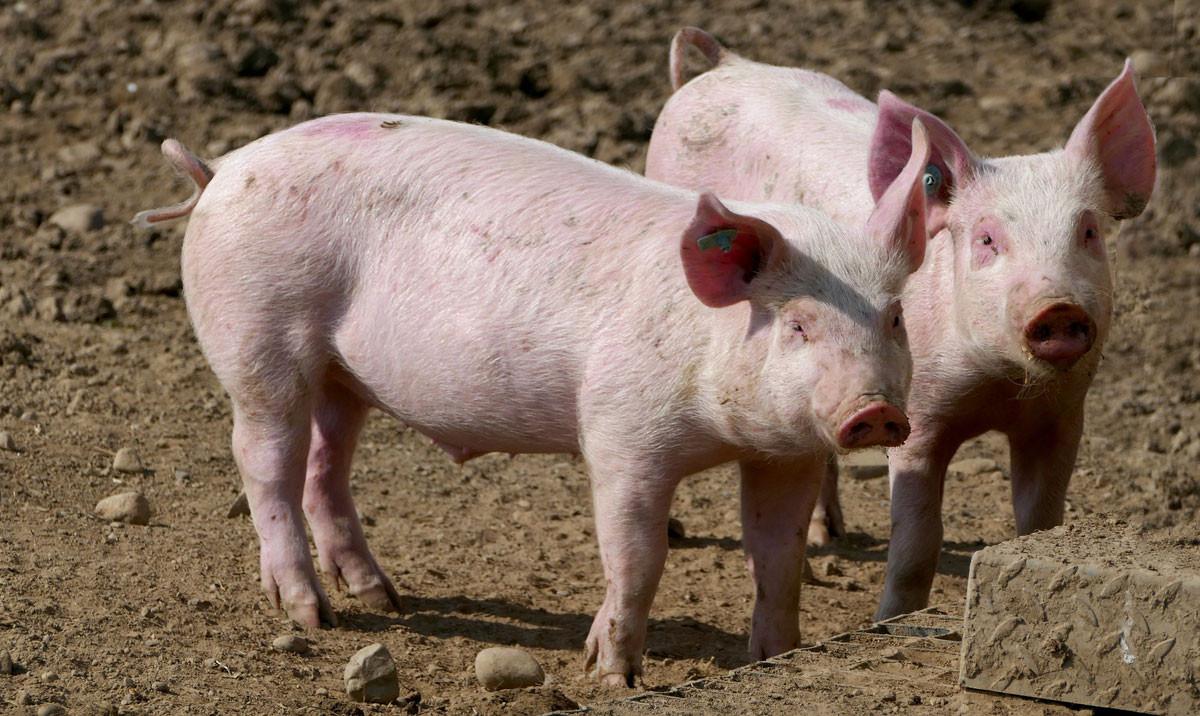 DreiSchweine-1200x716Zk7pFfmN2zOXa